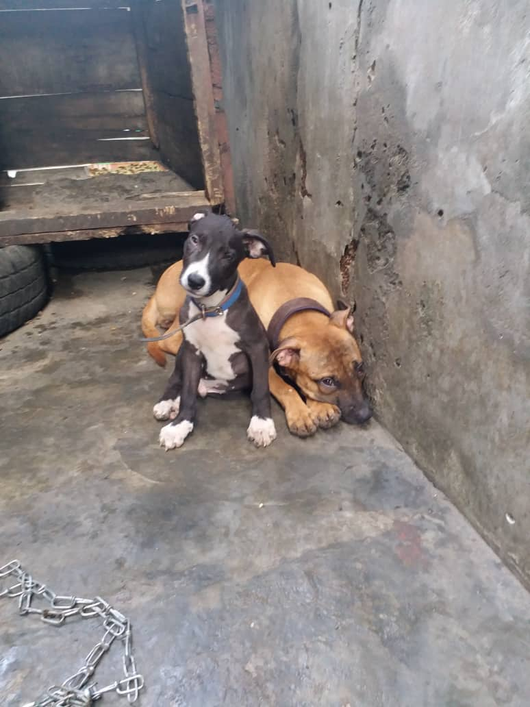 Boerboel And Pitbull Puppies For Sale - Pets - Nigeria